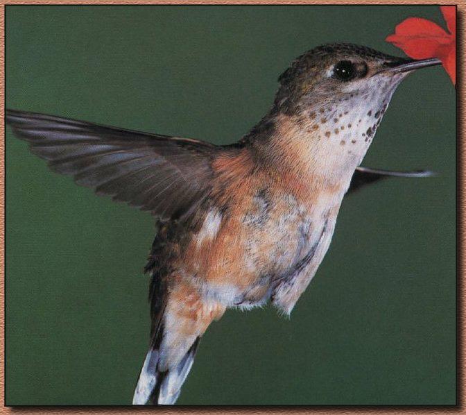 Allens-Hummingbird-Female-
