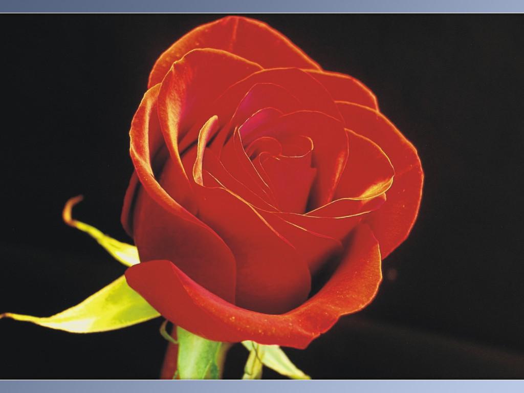 Rose-0009