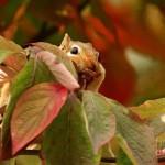 chipmunk hiding