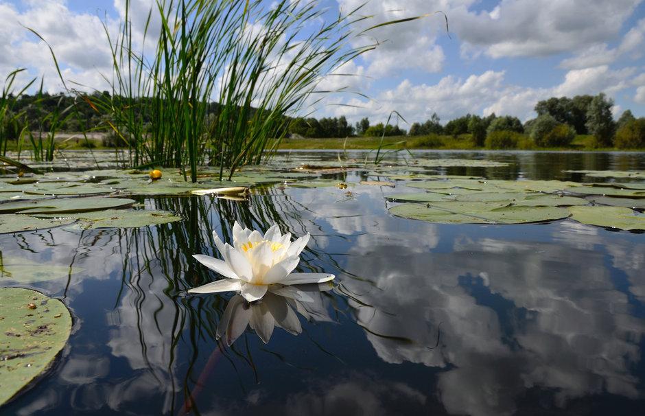 pond-lily