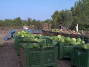 A truck load of unwanted watermelons, but good for us!